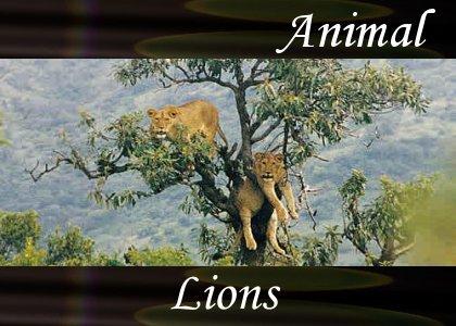 SoundScenes - Atmo-Animal - Lions