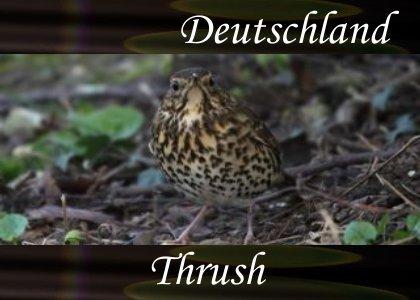 SoundScenes - Atmo-Germany - Deutschland, Thrush
